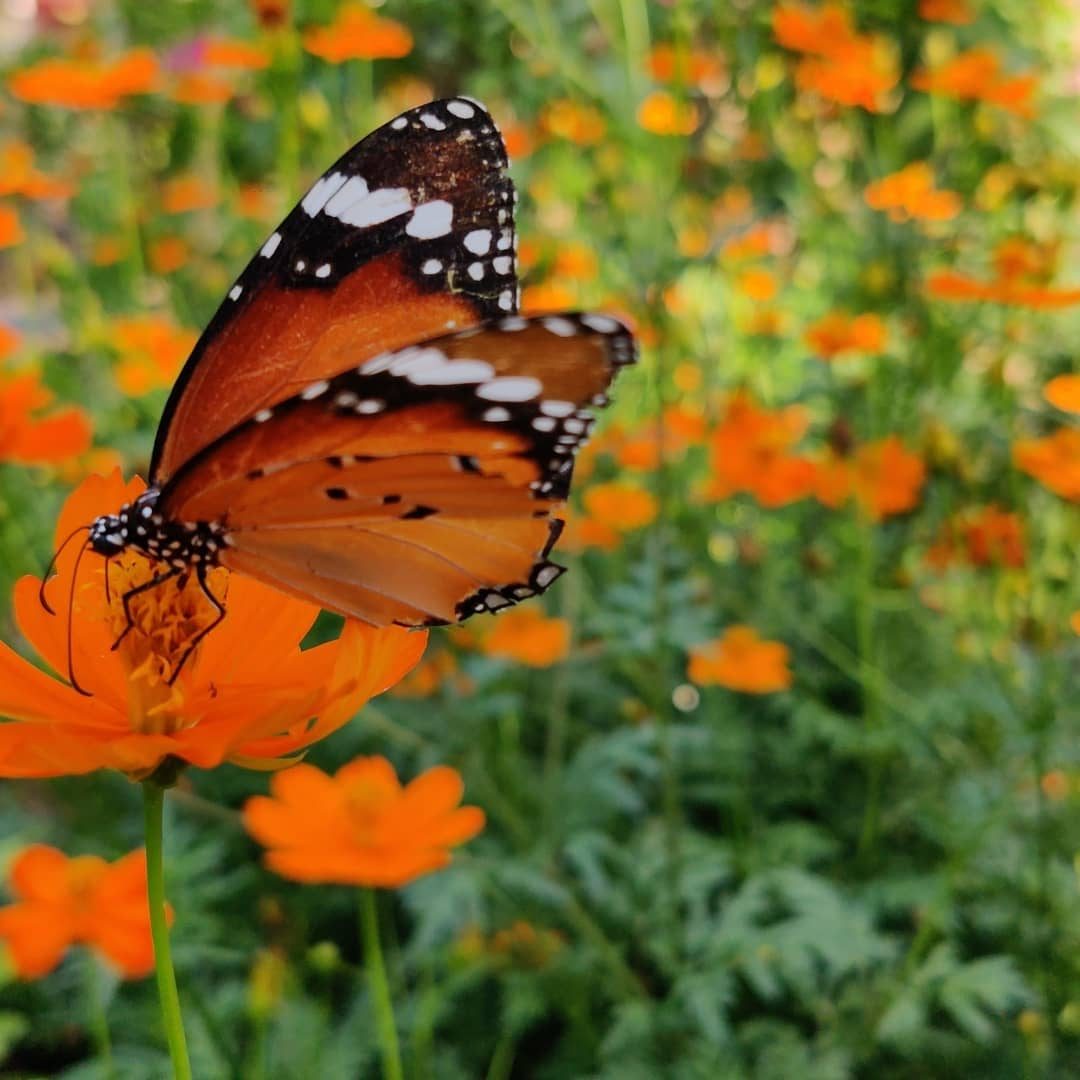 Mother #Nature is always here to give happiness and great learning. Flower and Butterfly clicks  during #lockdown time. #Color of nature ! pic.twitter.com/4fUEWWGeDj