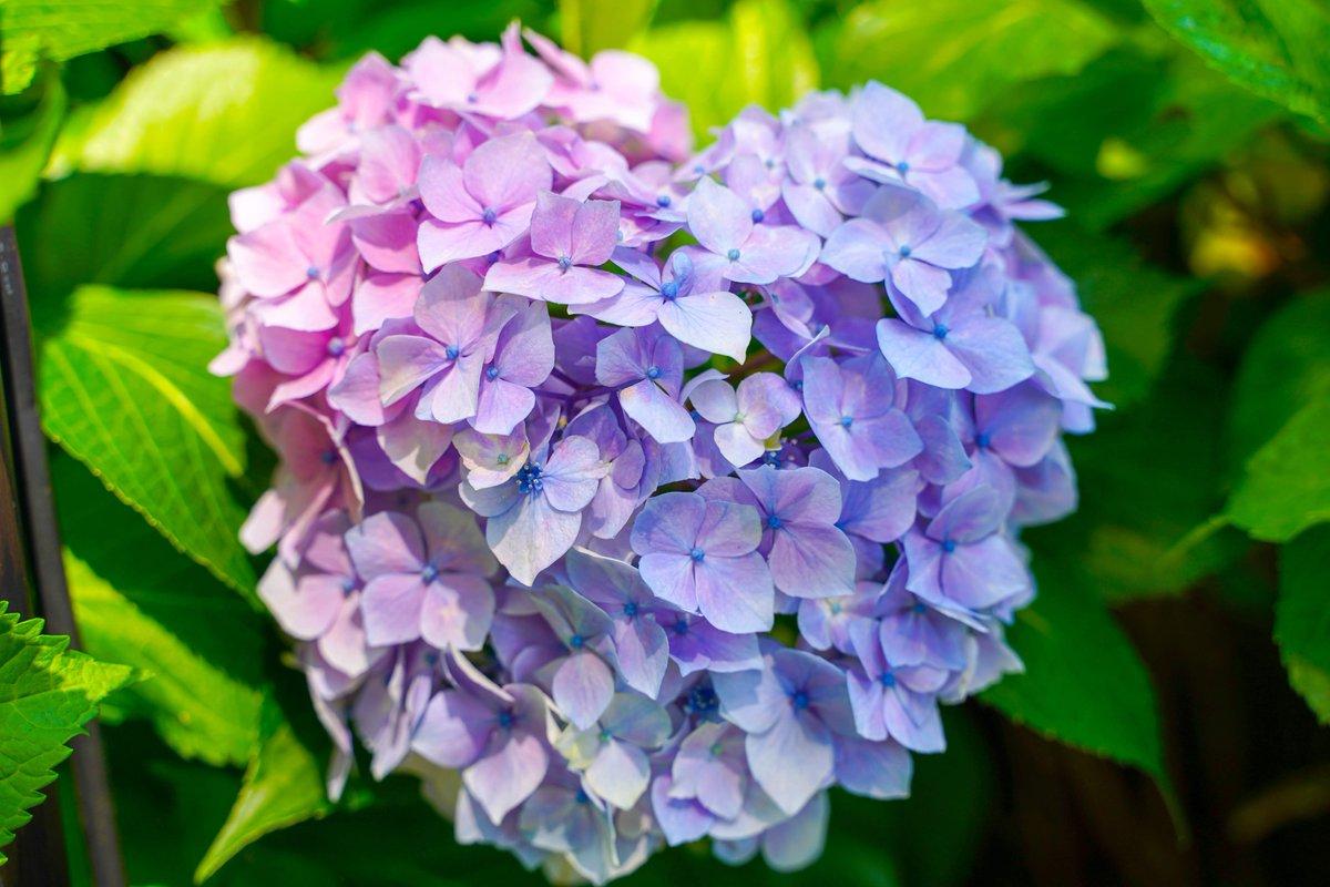 もうすぐ紫陽花の季節ですね。 今年こそ上手に撮れるでしょうか。 2年前にあるお寺で撮ったハート型の紫陽花です。 見つけたら幸せになれるとか。  #カメラ好きと繋がりたい  #写真好きな人と繫がりたいpic.twitter.com/mdbb9bEq5W