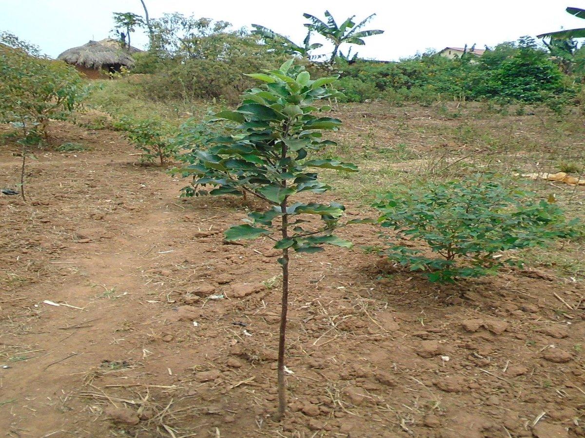 Lo sapevate che si coltivano le #mele anche in #Uganda? Per saperne di più clicca qui: https://www.acav.eu/it/progetto-wealth-creation-through-fructiculture-la-crescita-di-una-piantina-di-melo-di-canwat-jasintous/… con il sostegno della Provincia Autonoma di Trento #Agricoltura #frutticoltura #africa #frutta #contadinipic.twitter.com/CFoVlRPk5f
