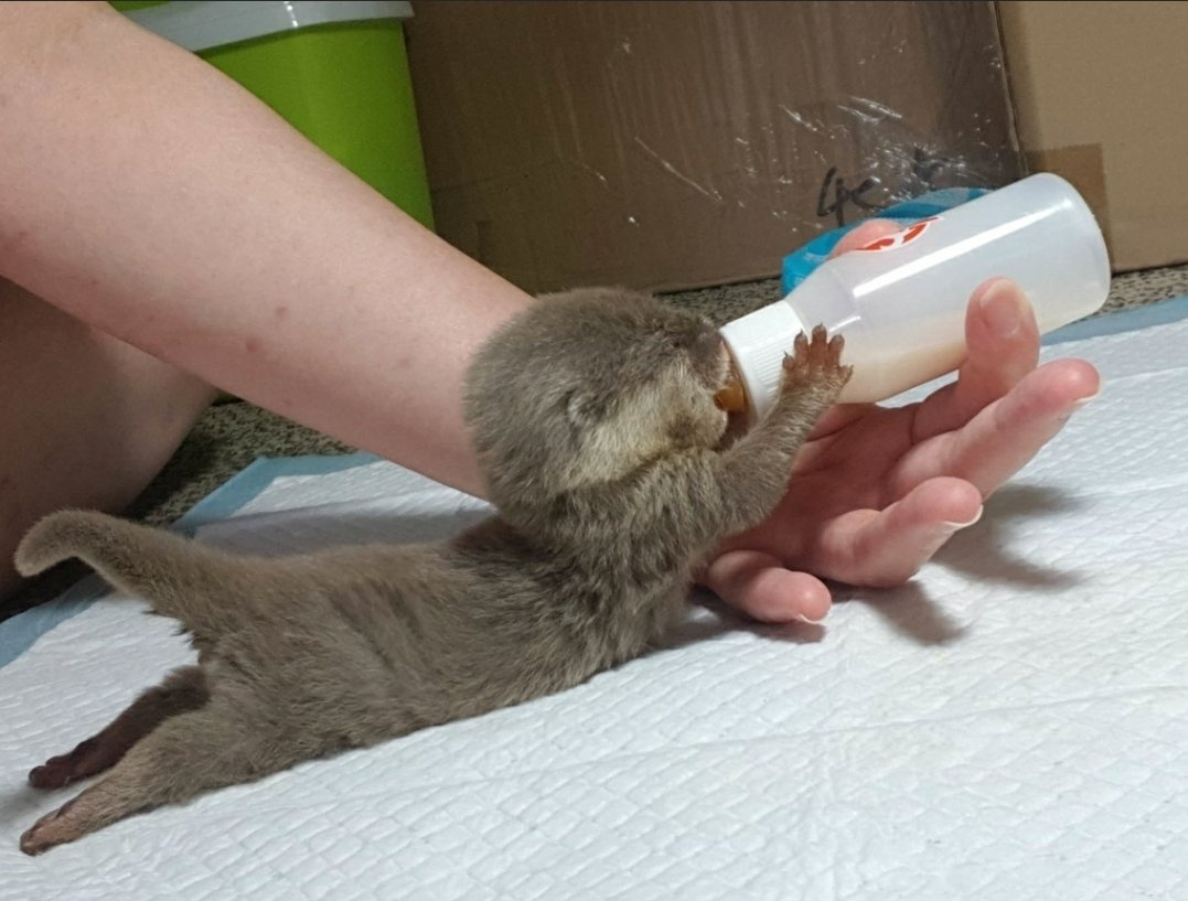 Good morning. Here's something to make your morning a little sweeter. #otter #otters #CutenessOverload #babyanimals #furrypic.twitter.com/L1PE517dgl