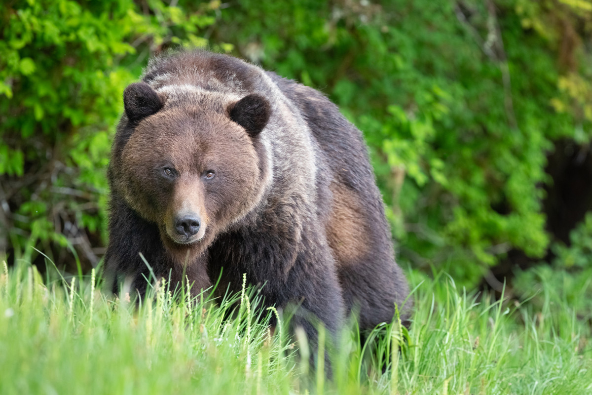 grizzly bear attacks - HD1200×800