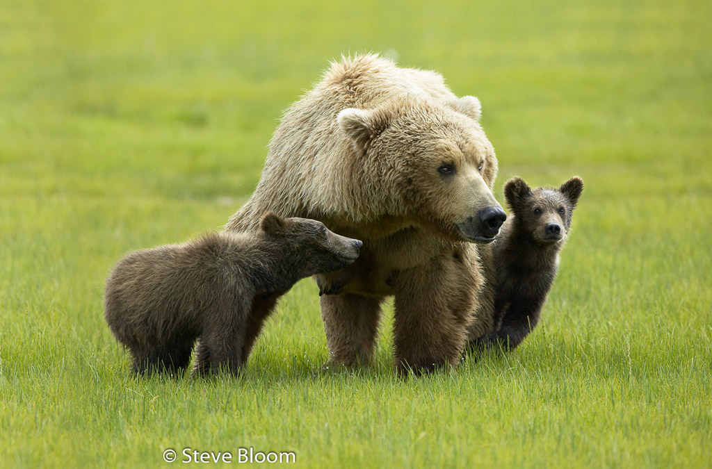 Life continues as normal on for some non-humans. #brownbears #bears #wildlife #wildlifephotography #katmai #lovenature #NaturePhotography #babyanimals #cuteanimals #alaska #grizzlybearspic.twitter.com/9KsJFVDXjA