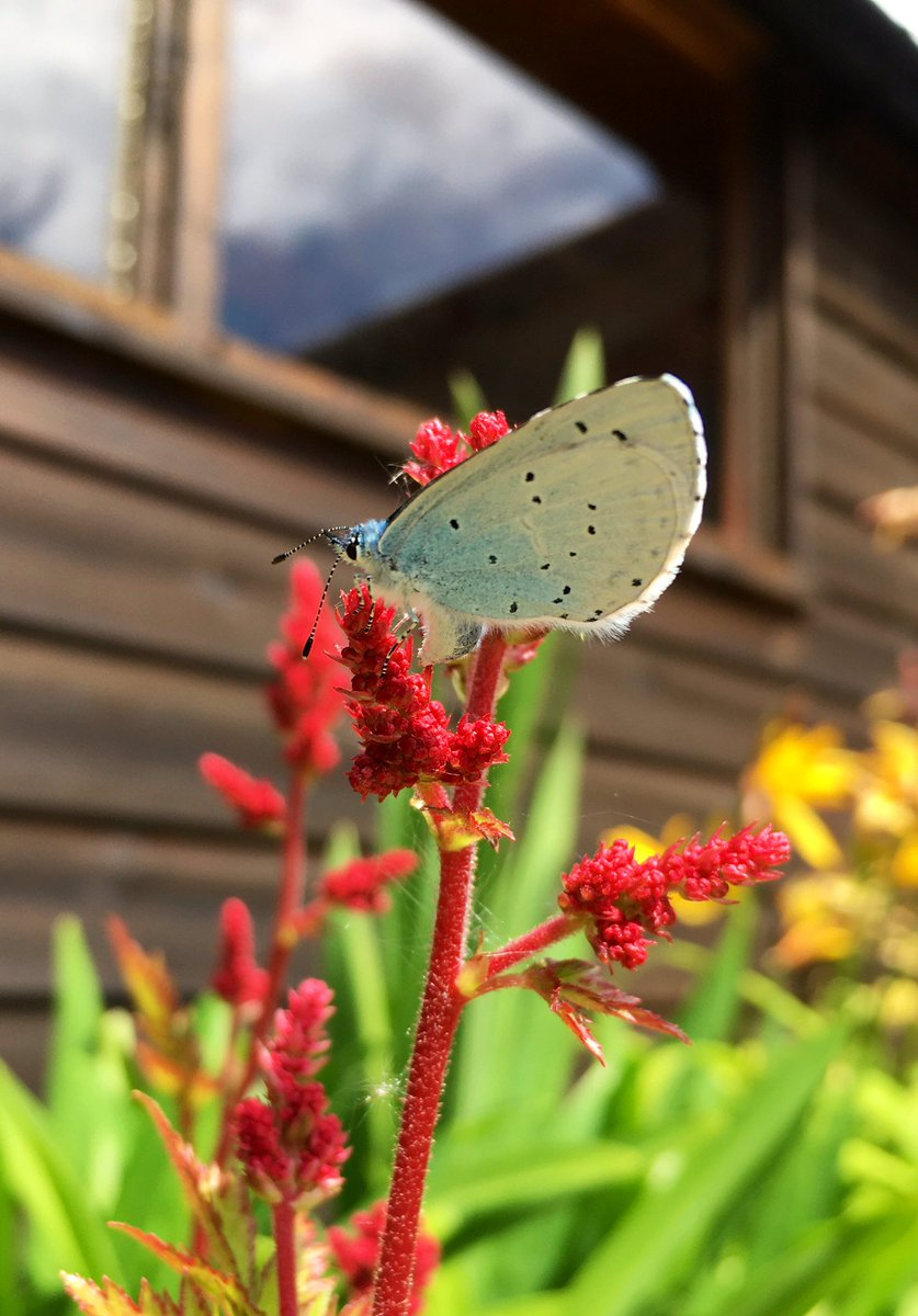 Holly Blue Butterfly  #Nature  pic.twitter.com/dl4svEu5mC