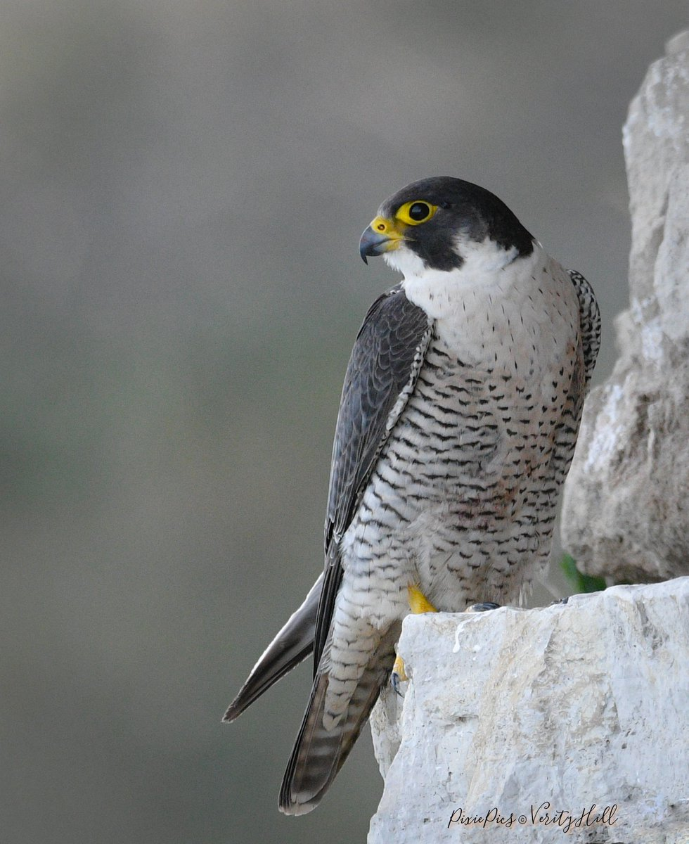 Peregrine - Such a beauty  #peregrine #peregrinefalcon #falcoperegrinus #birds #birdsofprey #birdwatching #birdphotography #bbcspringwatch #bbcWildlifePOTDpic.twitter.com/LgvxqNlA5j – at Dorset