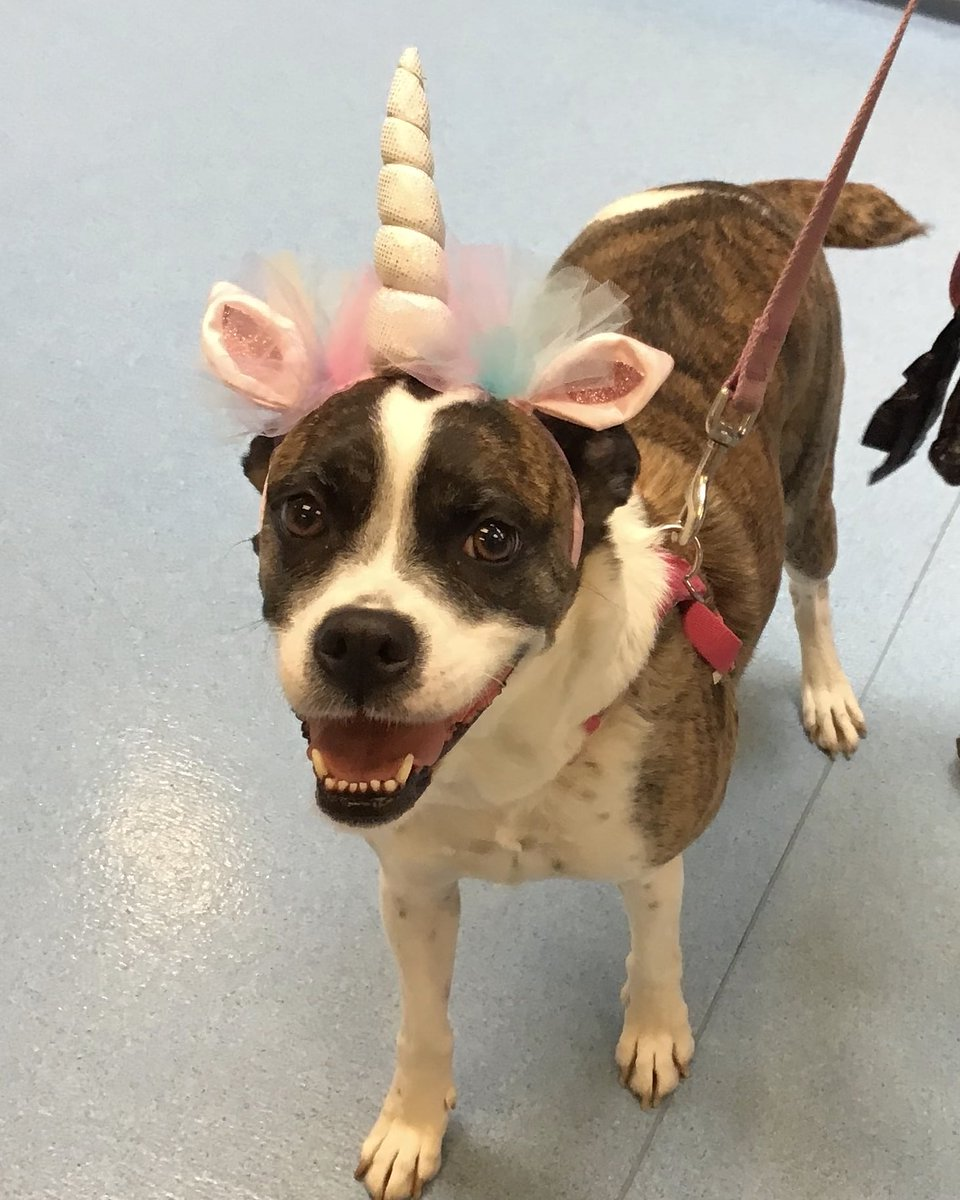 Sadie the unicorn came in for her physical today! She was a very good girl! #unicorn #boxermix #vvcpic.twitter.com/1eC1xlR39I