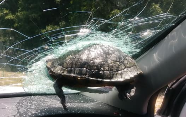 Turtle crashes through driver's windshield along Georgia freeway: