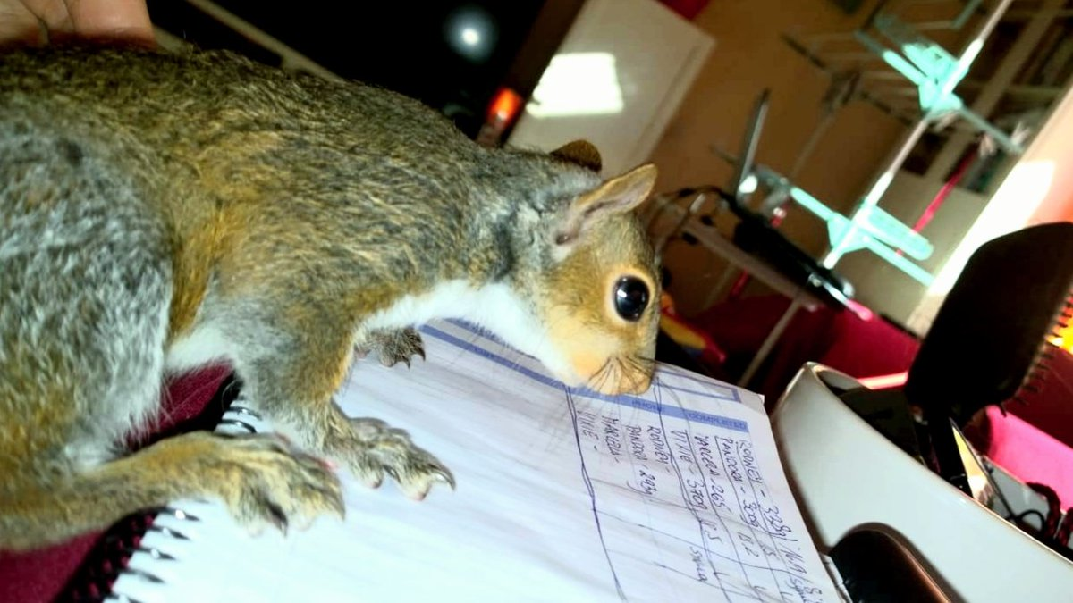ACCURATE RECORD KEEPING IS SO IMPORTANT! Our carers are very competent, but there is no harm in checking! #urbansquirrels #animalrescue #babyanimals #animalspic.twitter.com/aB7UJl0UA2