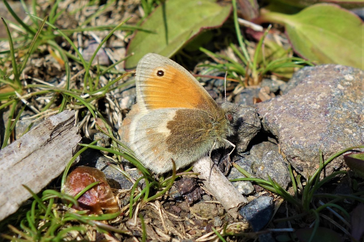 A small heath #butterfly up in the #Ochils earlier this week #Clackmannanshirepic.twitter.com/uWz3hDXc6Z