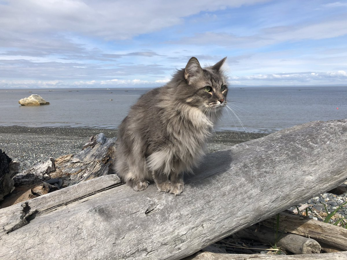 Dad let me do a little exploring on the beach in Kenai!  So many interesting sounds and smells!! #AlaskaCats #Beach #CatsOfTwitterpic.twitter.com/tqPcGV8gFB