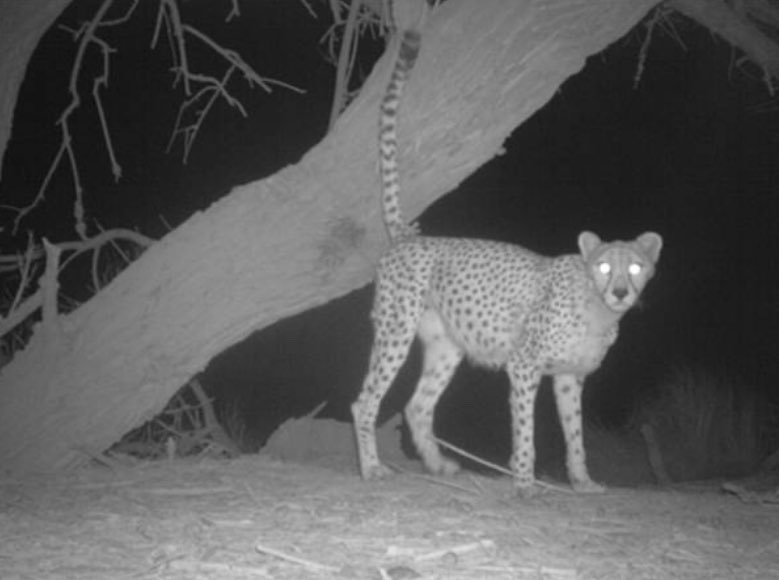 The most elusive wild cat in the world-the Sahara Cheetah- was spotted after a decade in Algeria.Only 37 of them are left in the wild. Snow leopard is difficult to spot in the wild. But it was a surprise when 3 of them were seen at Almaty town of Khazakisthan during lockdown.