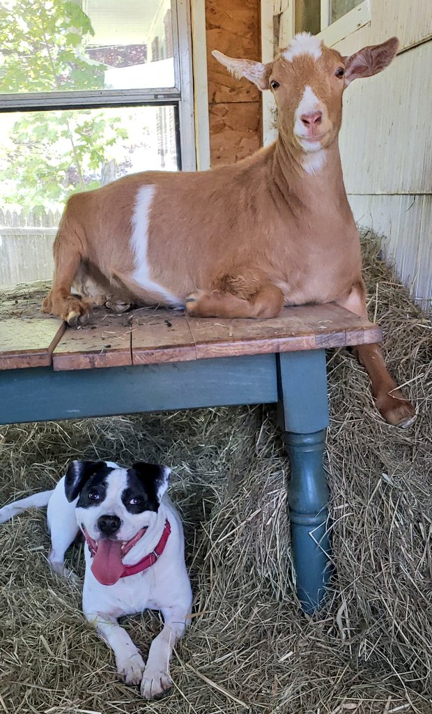 Just #chilling out #goats #dogsoftwitterpic.twitter.com/2x1jexdHZc