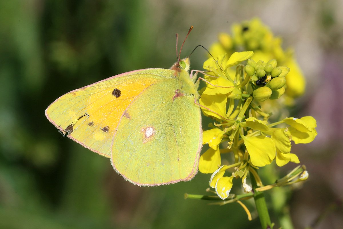 Clouded Yellow #BUTTERFLY St Margaret's, Kent. 25/05/2020 pic.twitter.com/9EBap9lWuW