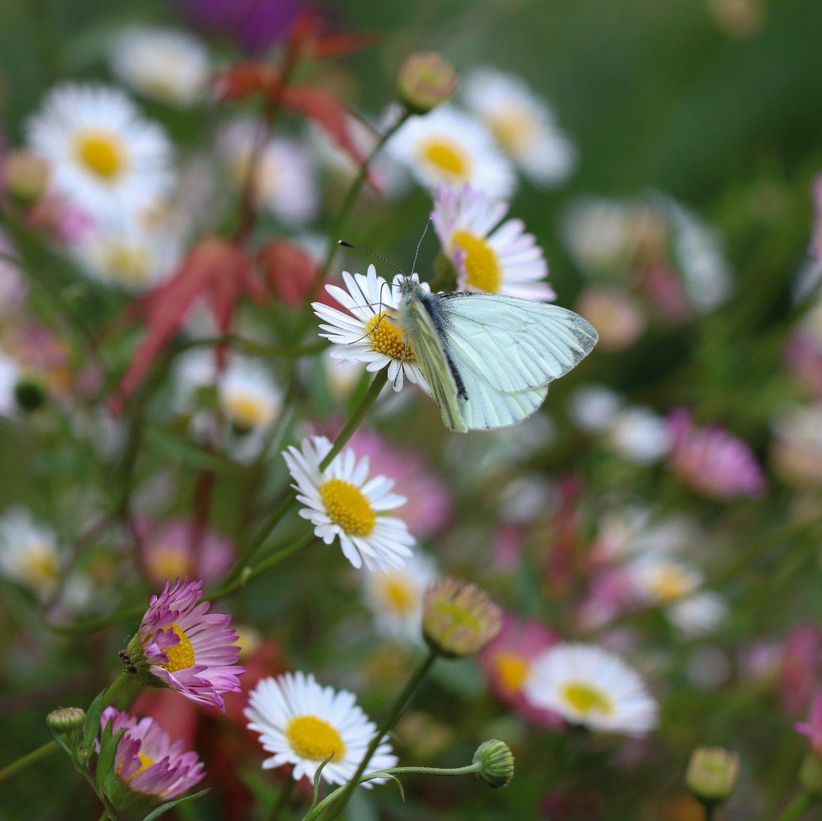 Pretty little Green-veined white #butterfly (Pieris napi) in #mylittlegarden this afternoon pic.twitter.com/CESlda0zW5
