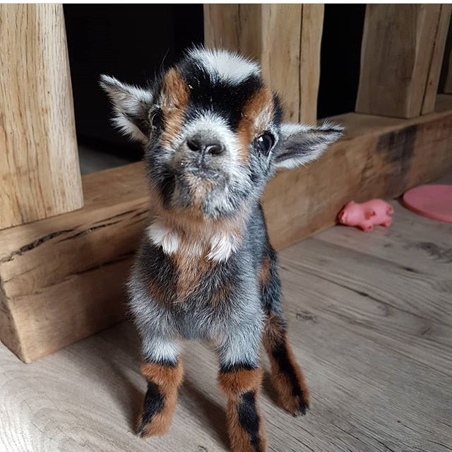 Baby goat    Photography by @lafermedelise   #nature #NaturePhotography #naturelovers #photo #cute #beautifulpic.twitter.com/5XuwnfWis3