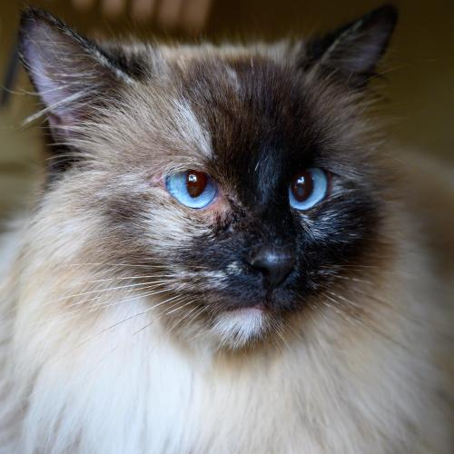 """#Oakland, CA: I'm AURORA! I was the first kitty my rescuer would see when she opened her door in the morning. I'd run eagerly onto her porch for pets (and breakfast) as my own """"family"""" was a bit, well, troubled. I am shy at first... https://t.co/pHLTPu2AxV #RehomeHour #US #cats https://t.co/jKukx2OZfB"""