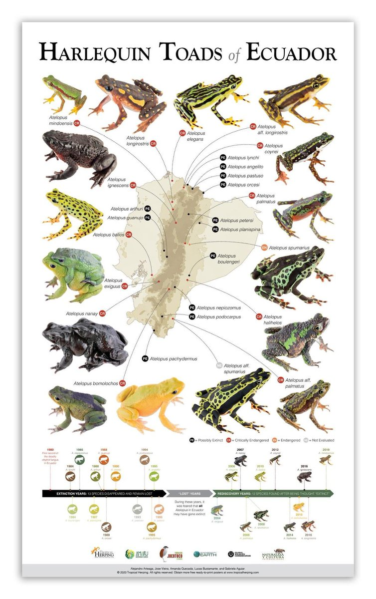 "New poster/infographic!  Harlequin Toads  (Atelopus) of #Ecuador .  Download the poster for #FREE (English and Spanish versions) in high-res here, or help us fund the expeditions needed to find the 13 ""lost"" species by purchasing the framed version.  http://www.tropicalherping.com/posters.html pic.twitter.com/iKELTatFZM"