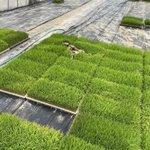 芝生の上でお昼寝…?!ネコちゃんが寝ているのは田植え前の稲の苗だった!