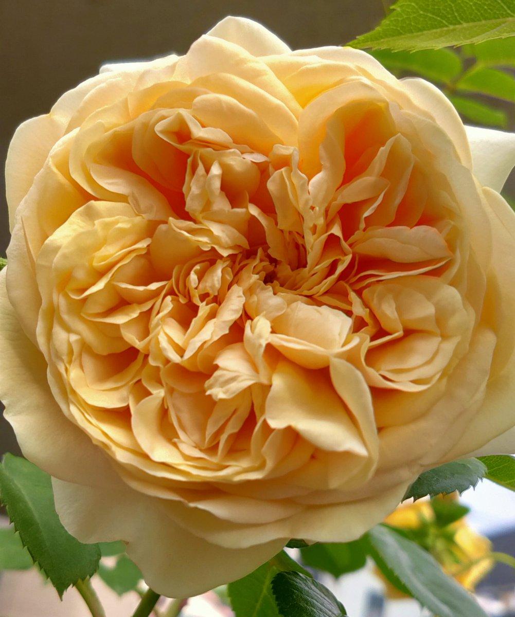 ティージングジョージア Teasing Georgia  #ティージングジョージア #teasinggeorgia #デビッドオースチン #イングリッシュローズ #DavidAustin #rose #ローズ #バラ #園芸男子 #ガーデニング #園芸 #薔薇 https://t.co/gKU9JuqZSb
