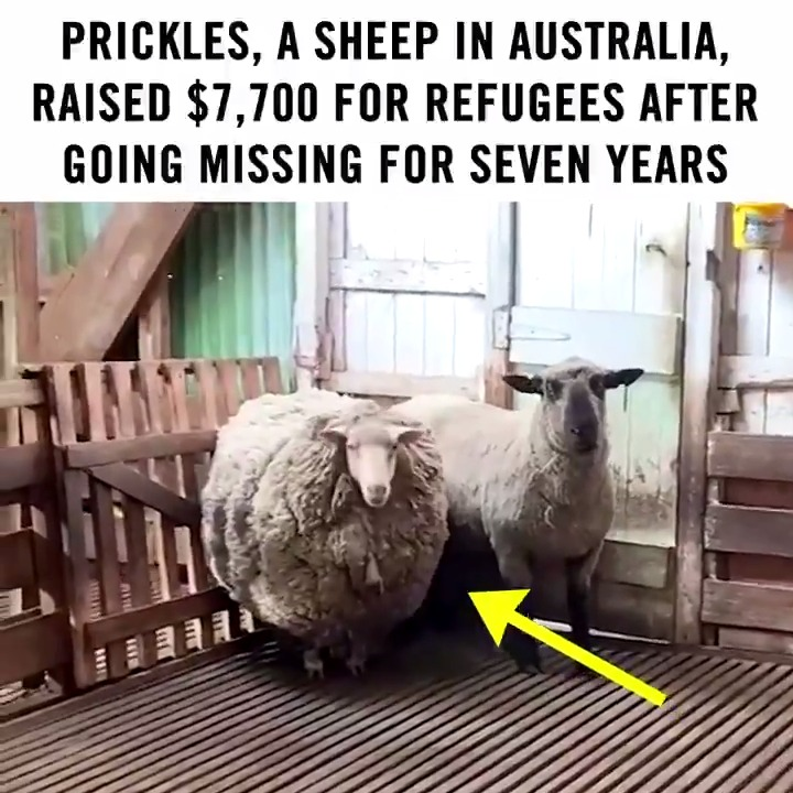 We stan a heroic sheep. ❤️🐑