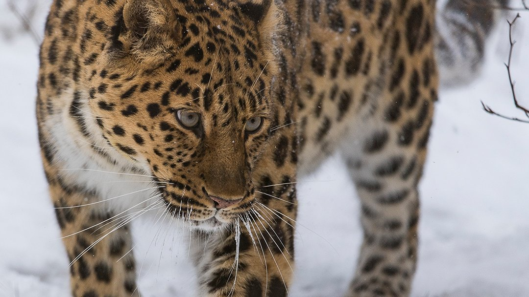 Did you know that the rarest #leopard in the world loves the snow? But the Amur Leopard is under grave threats from #poaching and habitat loss. Add your #voicefortheplanet this #EndangeredSpeciesDay for nature and wildlife: https://t.co/84J08btL66 https://t.co/hv6fObY6vB