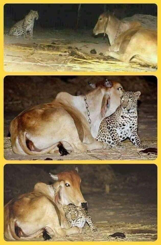 A leopard sneak up at night to visit the cow who breastfeed him after his mother died. The photos were taken with infrared cameras placed by the village to understand dog barking during the night! The relationship in childhood is a necessity for survival. https://t.co/EYzJJhZn5s