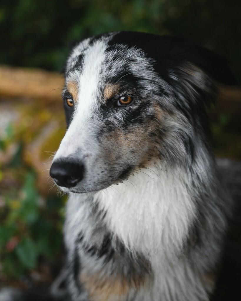 Jasper is constantly alerting us to unseen critters in the bush. . . . . #adventurepup #australianshepherdpuppy #dogsthathike #bluemerleaustralianshepherd #aussiesofig #australianshepherds_ #animalnorth #theruffoutdoors #hikingdogsofinsta #a… https://instagr.am/p/CAOGPyMlGfv/pic.twitter.com/pKcHg1Gc7P