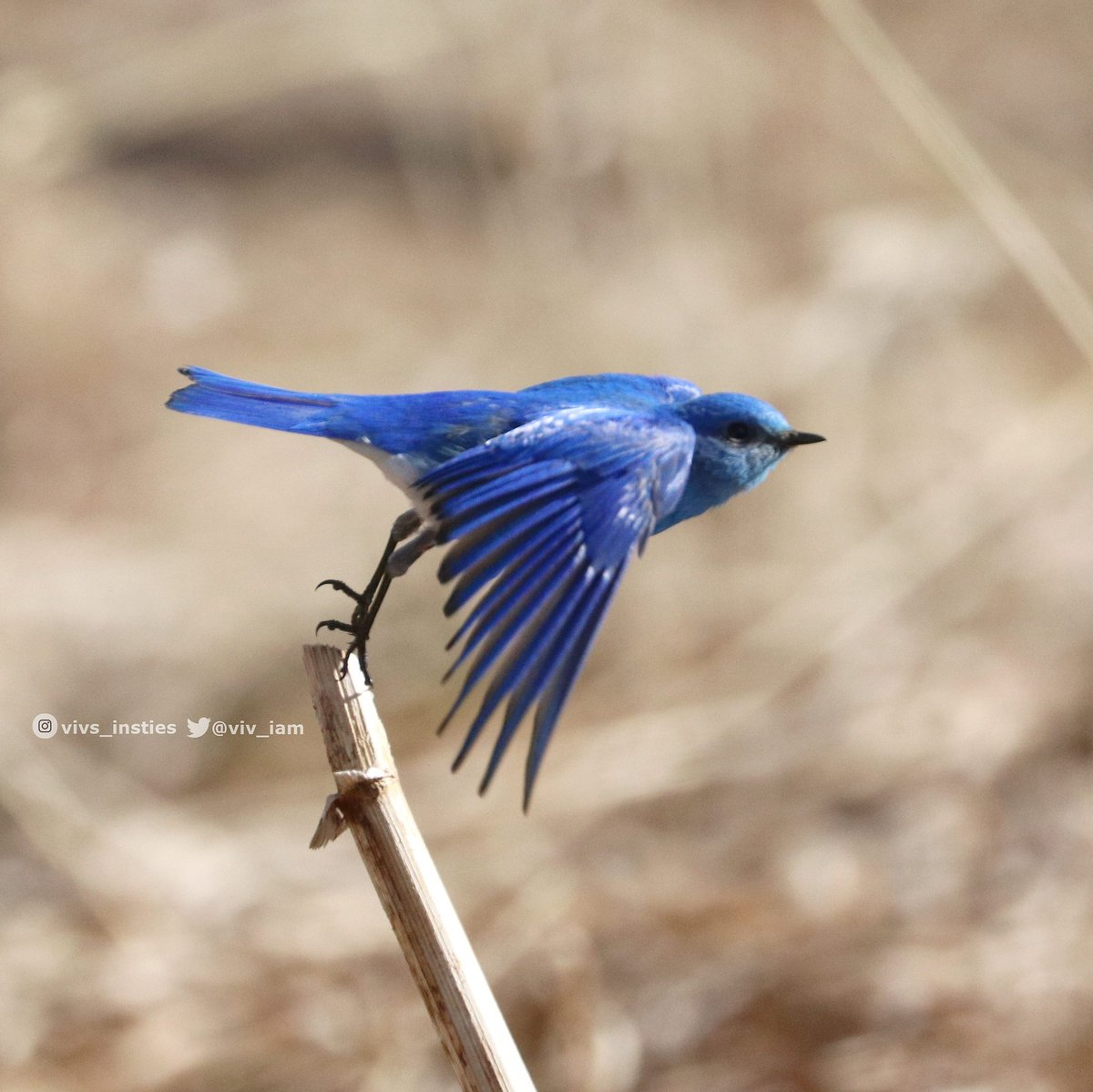 Male mountain Bluebird packing a whole lot of colour with him! #birds #bluebird #birdwatching #natureisawesome