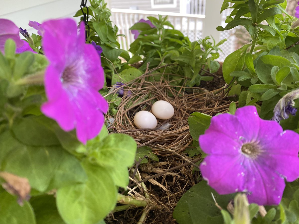 The #WeisGuys are almost as excited as I am about the #MourningDove nest!