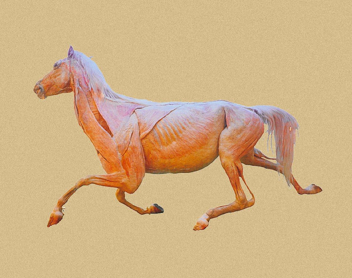 Plastination Anatomy On Twitter Anatomy Of Horse Anatomy Animal Specimen Horse Whole Horse Plastinated Specimen Https T Co 7dzk6fzdgx Horse Internal Organs Https T Co Zr17zvxhij Whole Bone Specimen Of Horse Https T Co