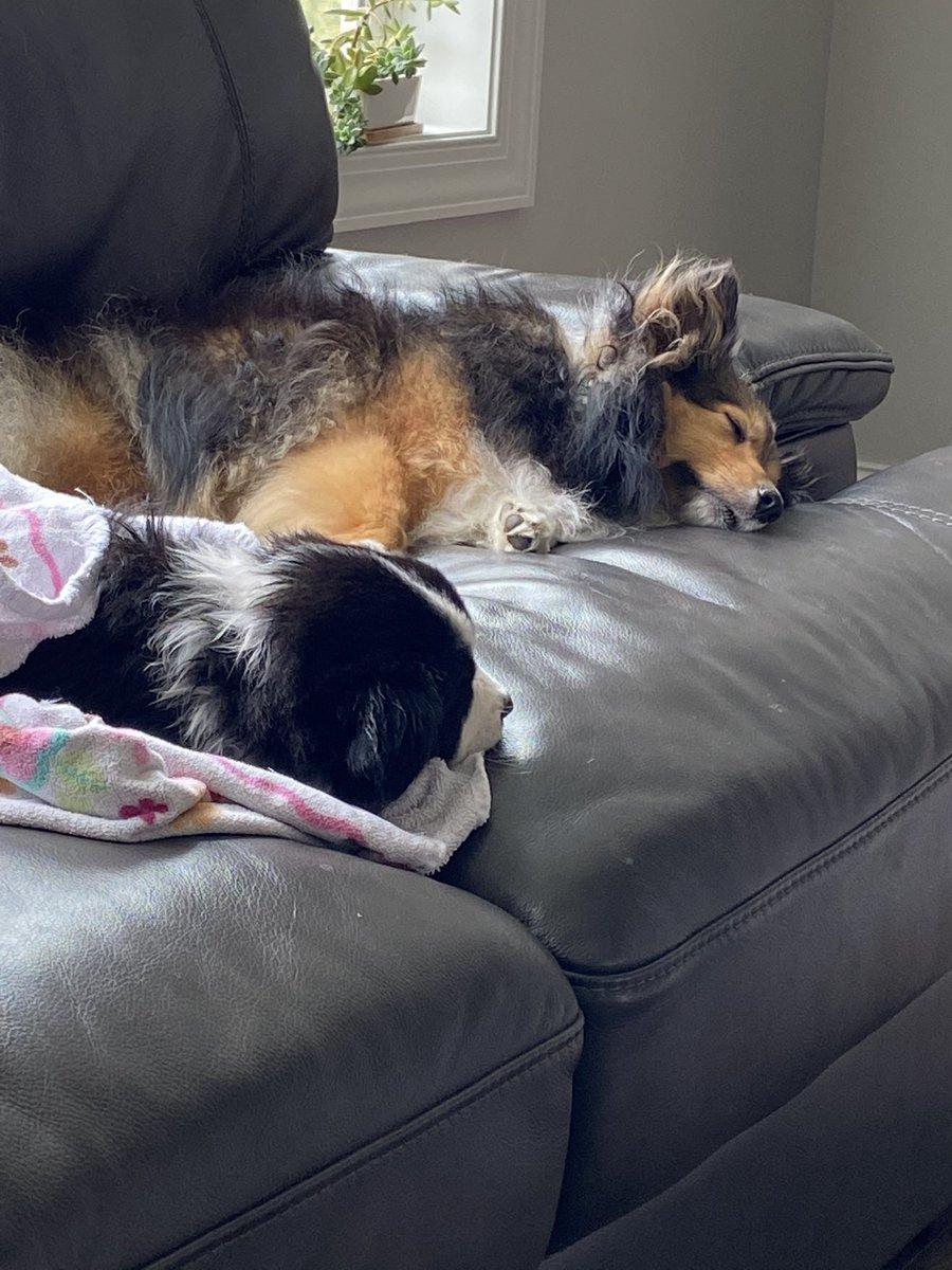 Ellie is already relaxing like the other pups.  She's fitting in just fine. #MiniAmericanShepherd #EleanorJonespic.twitter.com/U1F76aSTvi