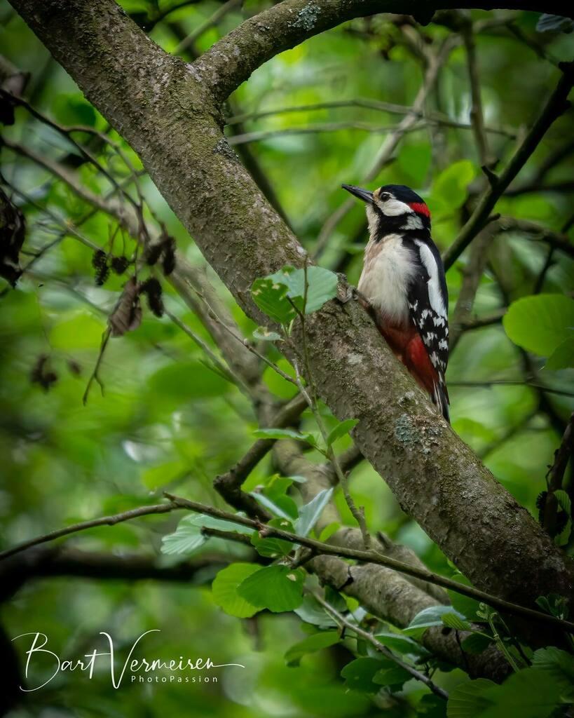Grote Bonte Specht / Great Spotted Woodpecker . . . . . #specht #woodpecker #tijdvoornatuur #natuurpunt #nuts_about_wildlife #animalelite #splendid_animals #shots_of_animals #animals_captures #all_animals_addiction #nature #naturelovers #bns_nature #wild… https://instagr.am/p/CAQd7ODAetG/pic.twitter.com/YVshSa86je