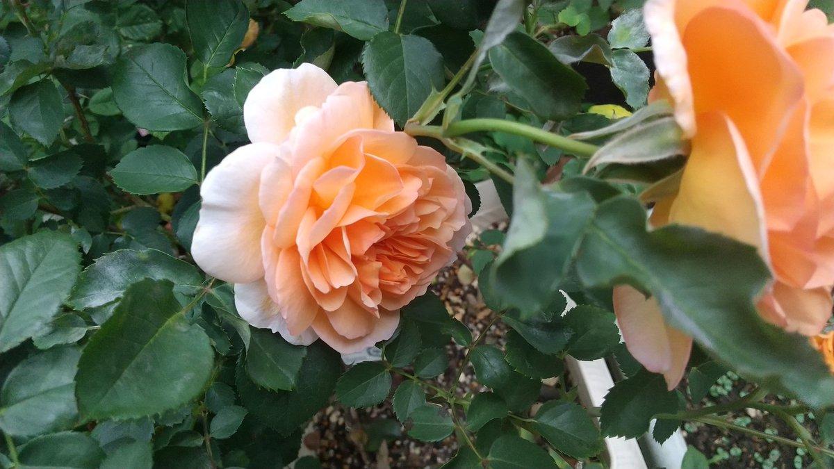 今年は良く咲いた!😃 #デビッドオースチン  2018年発売の #デイム・ジュディ・デンチ 爽やかな香りと優しい色合い😊 あまり売っている所に遭遇しないが、病気にも強いし杏色系が好きな方にはおすすめ🌹  もちろん花はバサッと散ります😅 https://t.co/vKhe87XED0