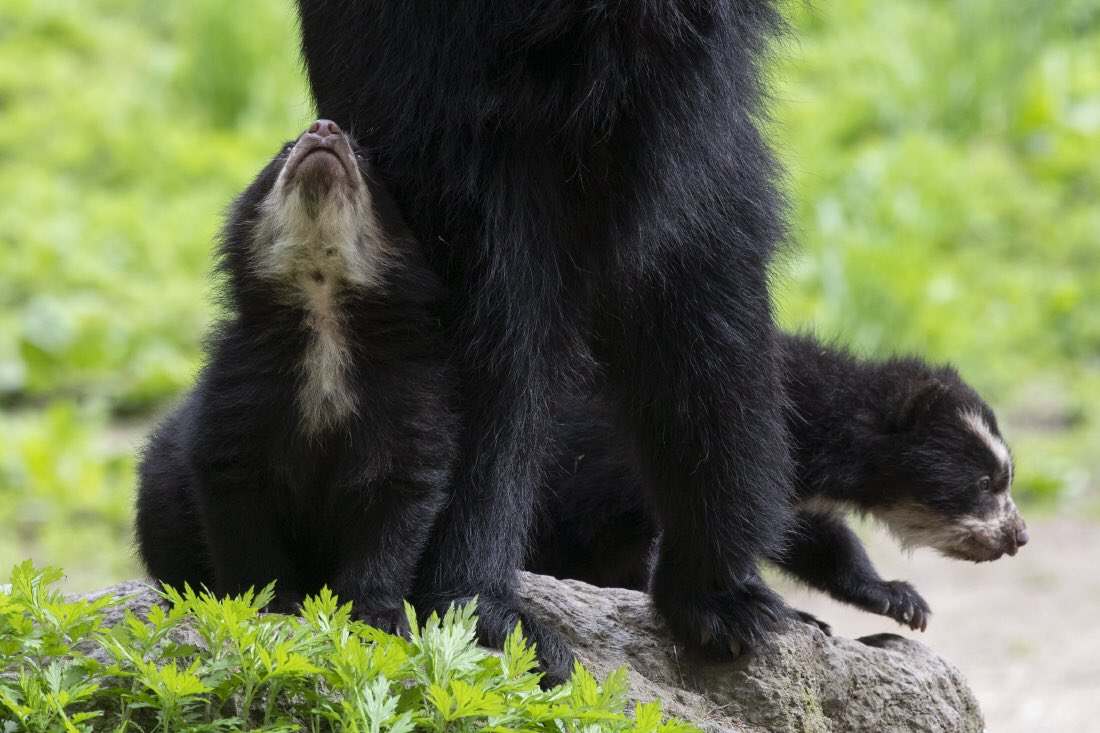 One more Andean bear cub photo from @thequeenszoo for your Saturday night viewing pleasure. #InsideTheZoo twitter.com/thequeenszoo/s…