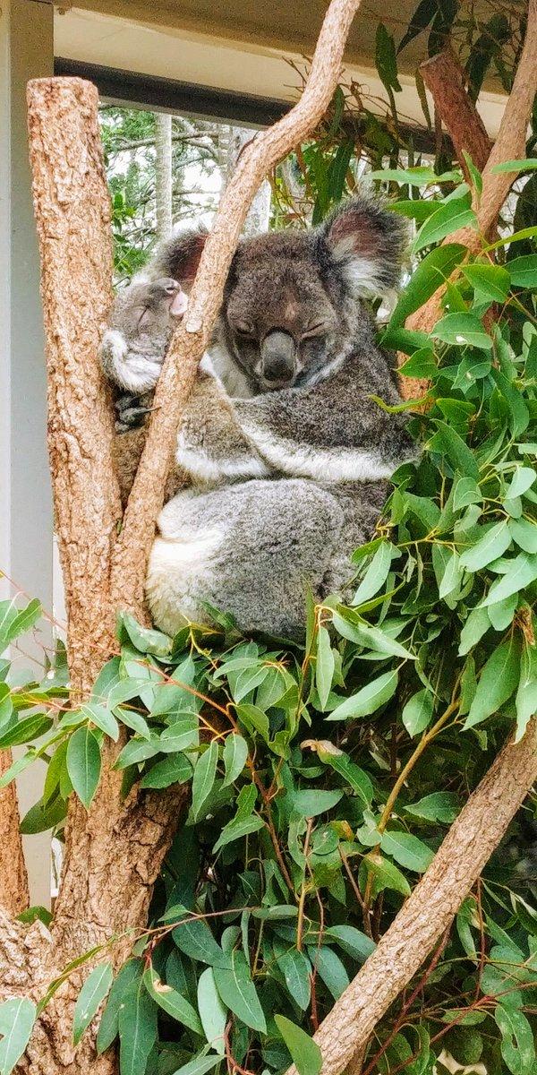 Lone Pine Koala Sanctuary, Brisbane, Australie  https://t.co/3PMXAUdmFC  #lonepinekoala #lonepinekoalasanctuary #animauxdroles #animauxsauvages #animauxrigolos #animauxmignons #leroutard #routard #voyagerenfamille #traveltipsandtricks #voyagerloin #voyagedereve #travelreviews https://t.co/cbJV3civyt