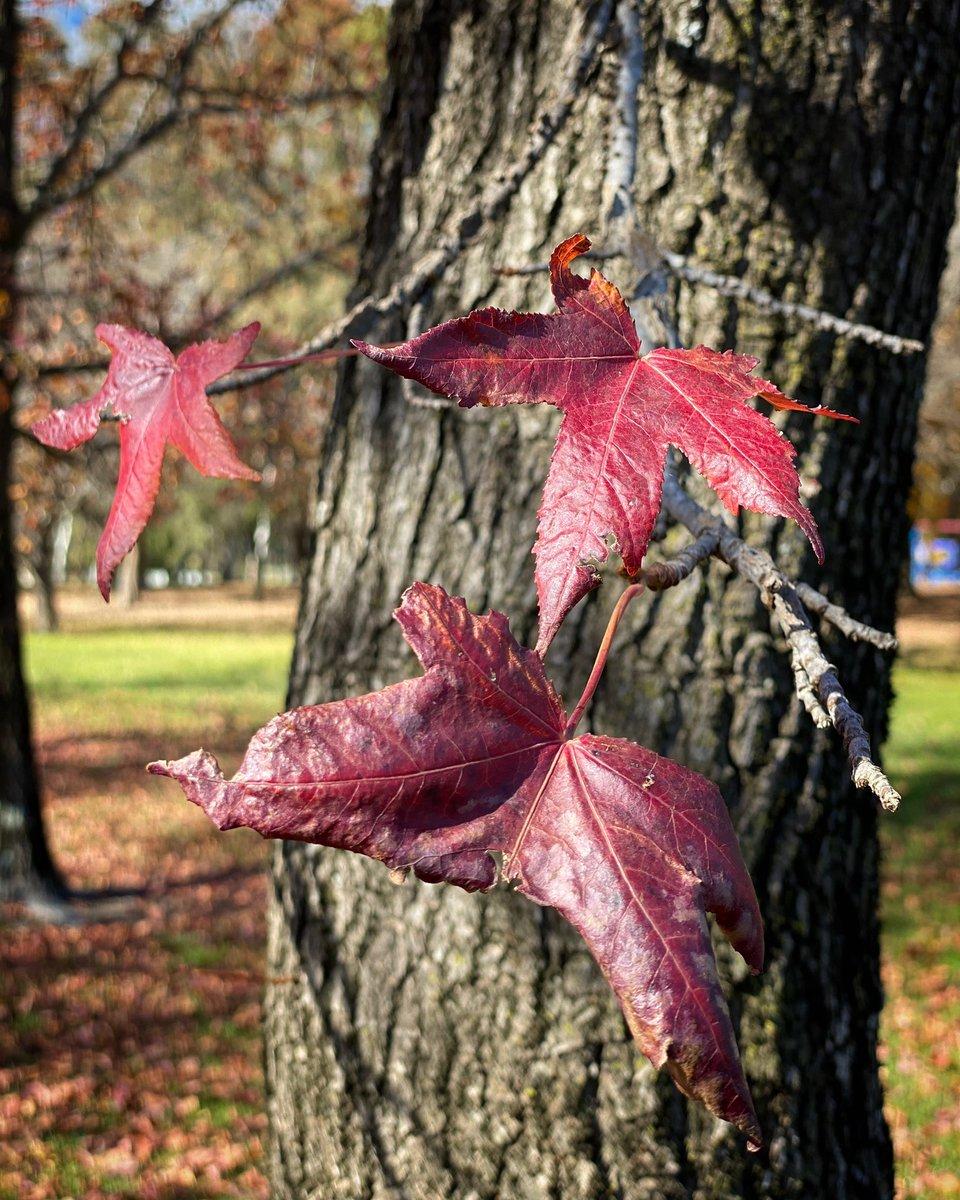 #Autumn #autumnvibes#autumnleaves #autumnleaves #autumncolors #autumnmood #autumnstyle #autumnweather #trees #park #orangensw #orangensw2800 #orangecounty #nature #australia #visitnsw #countrylife #parks #igdaily #ignature #igtravel #autumnleaves #autumnleaves#leavespic.twitter.com/oZXcHlurGt