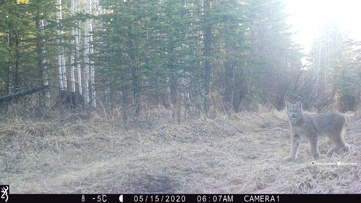 Early morning #Lynx visit …. what a beauty! 😍 #canadalynx #albertawildlife #cabinlife