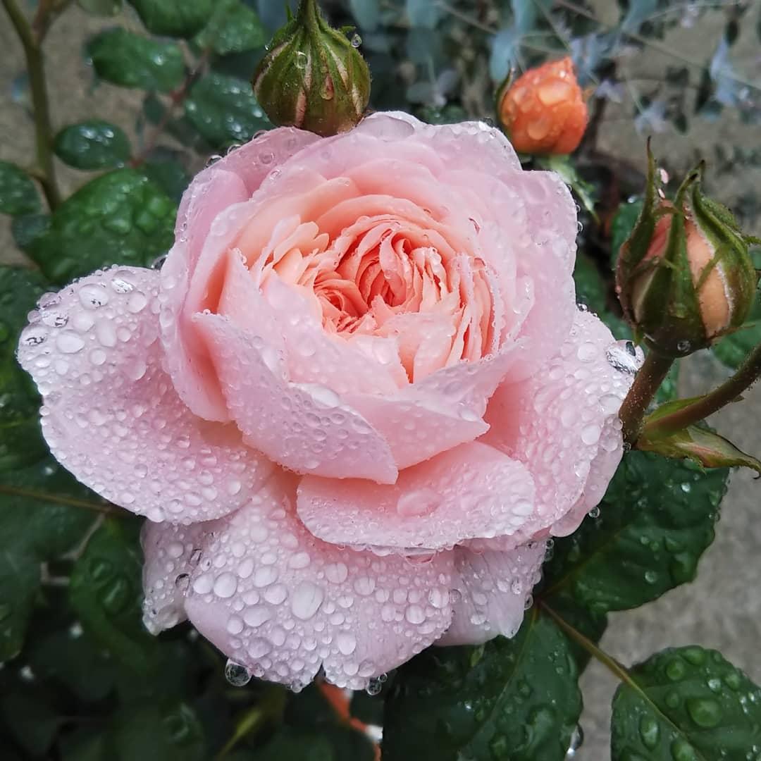 うちのバラ達。 クイーンオブスウェーデンが咲いた🌹! #バラ #イングリッシュローズ #デビッドオースチン #クイーンオブスウェーデン #ミニバラ #ピーチ姫 https://t.co/iTQDfAwVnC