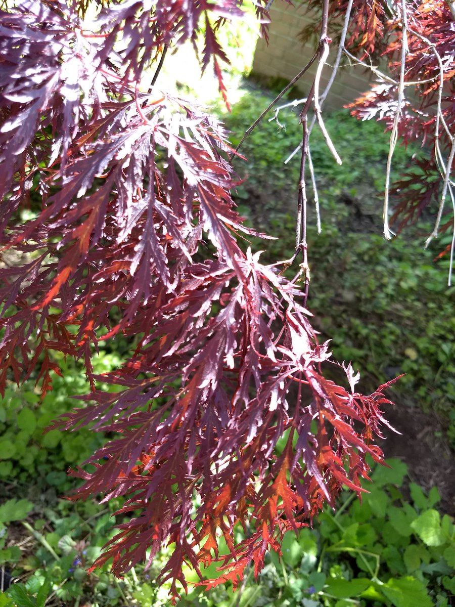 #SomethingBeautiful: This Japanese maple is the hardiest ornamental tree ever, and has survived some serious neglect and numerous resolutions to do better. @Ada_Palmer