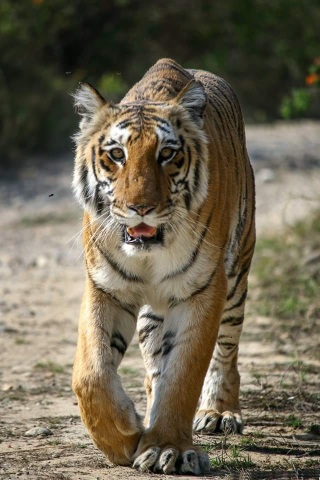 Iconic Tigress of Corbett Tiger Reserve, she has delivered some of the biggest Tigers in Corbett. @Saket_Badola