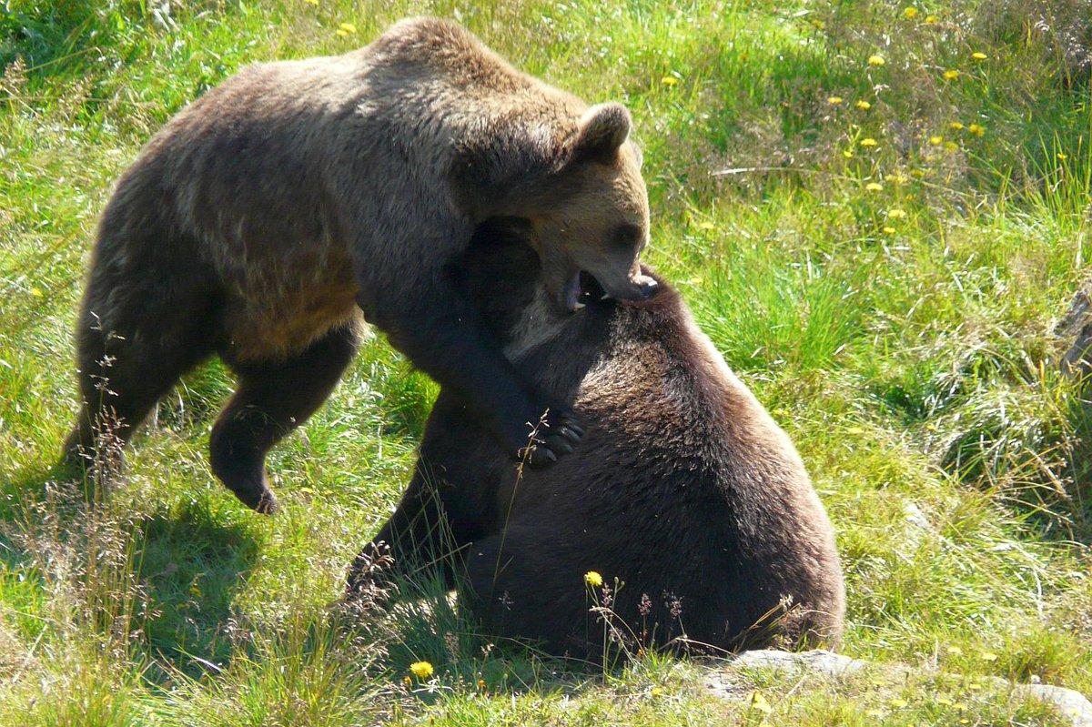 Bears wrestling. Ranua Zoo, Finland. #SomethingBeautiful