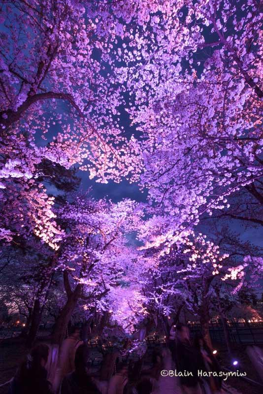 Illumination makes it look like a sakura whirlwind! #Japan #japanfocus #sakura #cherryblossoms #evening #pink #illumination #japandreamscapes #travel #travelphotography #日本 #桜 #ピンク #旅行 #旅 #写真 #写真好きな人と繋がりたい #ファインダー越しの私の世界 #夜景 #イルミネーションpic.twitter.com/BLidu3Fy07