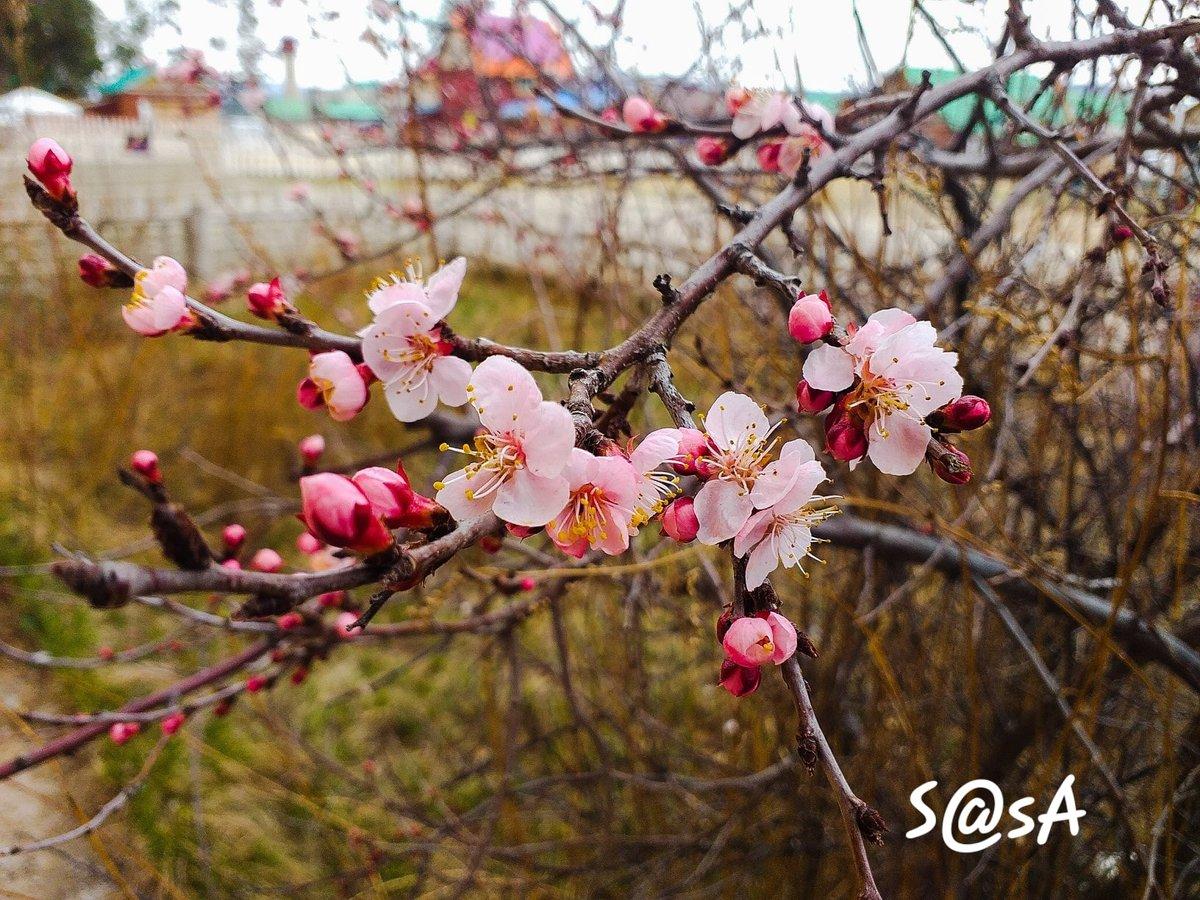 Spring Sakura in Mongolia 🌸  Photo credit: https://t.co/VKDaZob1wp https://t.co/ouuy4eZedx