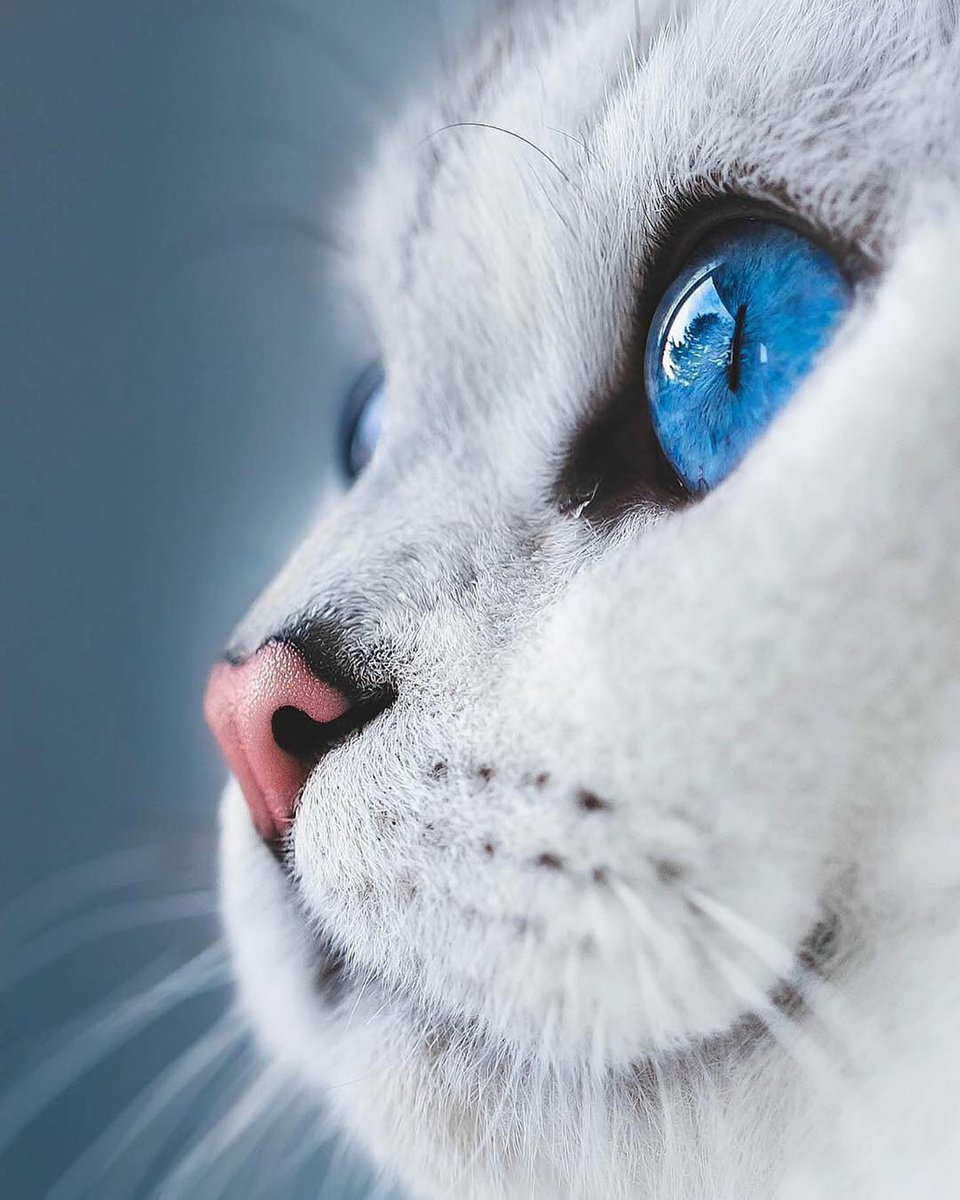 Handsome... #catlovers #cute #blueeyes  lyo.thecat <br>http://pic.twitter.com/IuWYi25ebC