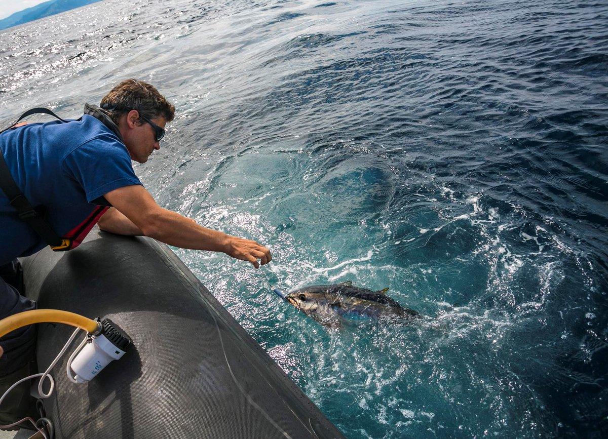 Hoy comienza la feria virtual del pescado de #Bermeo, y para arrancar programación, tenemos a Iñigo Onandia, investigador de @azti_brta hablando sobre el marcado de atunes. ¿Qué es y para qué se sirven? Hoy a las 18h en https://t.co/mchirQCweT @BermeokoUdala https://t.co/OPsQLIaRS9
