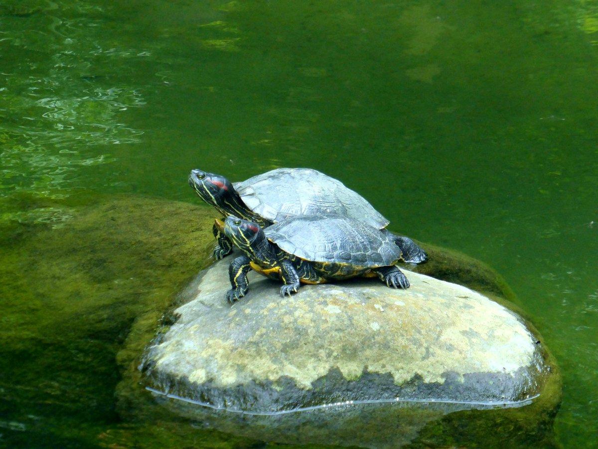 Two turtles.  #写真好きな人と繋がりたい  #ファインダー越しの私の世界  #キリトリセカイ  #photo  #静岡 #熱海 #起雲閣  #亀 #庭園 #旅行 pic.twitter.com/dH438azgJR