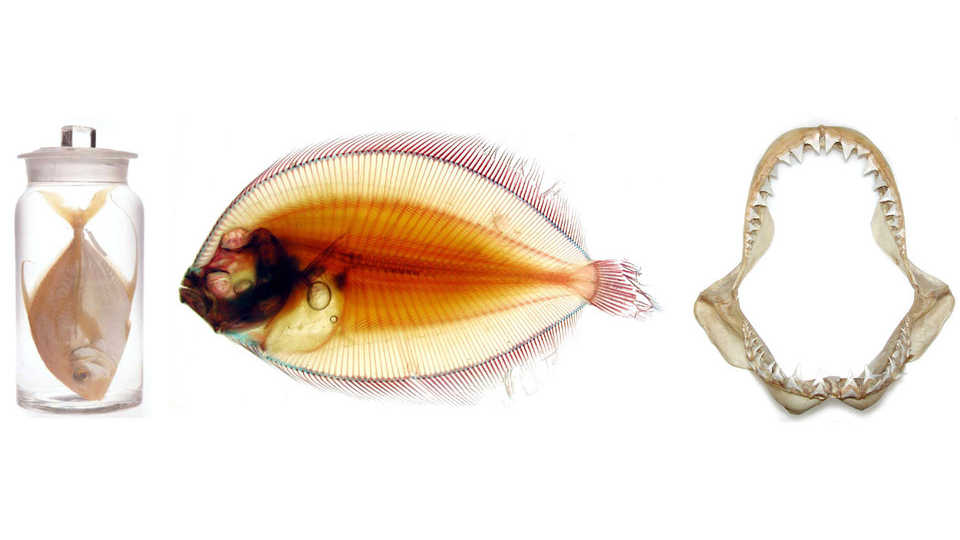 Happy International Museum Day everyone! Since you cant come to the @calacademy today I will give you a virtual (thread) tour of our #ichthyology collection! With fishes preserved in many different ways, our collection is one of the largest in the world. #IMD2020 #Our2020 1/n