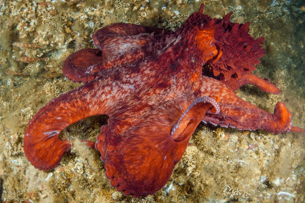 Pacific Giant Octopus,  It's always a little unnerving to meet something as big as yourself underwater.. #underwaterphotography #scubadiving @BackscatterUWpic.twitter.com/CxIki4QD0u