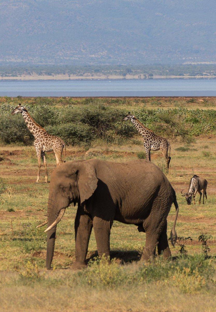 Reach & varried habitats at Lake Manyara National park makes home 2 larger animal species including the tree climbing lion & colourful flocks of flamingos https://bit.ly/2zGwZ8e #holidays #travel #nature #africa #views #seetheworld #biodiversity #art #beautiful #photographypic.twitter.com/TCu7WgsA8F