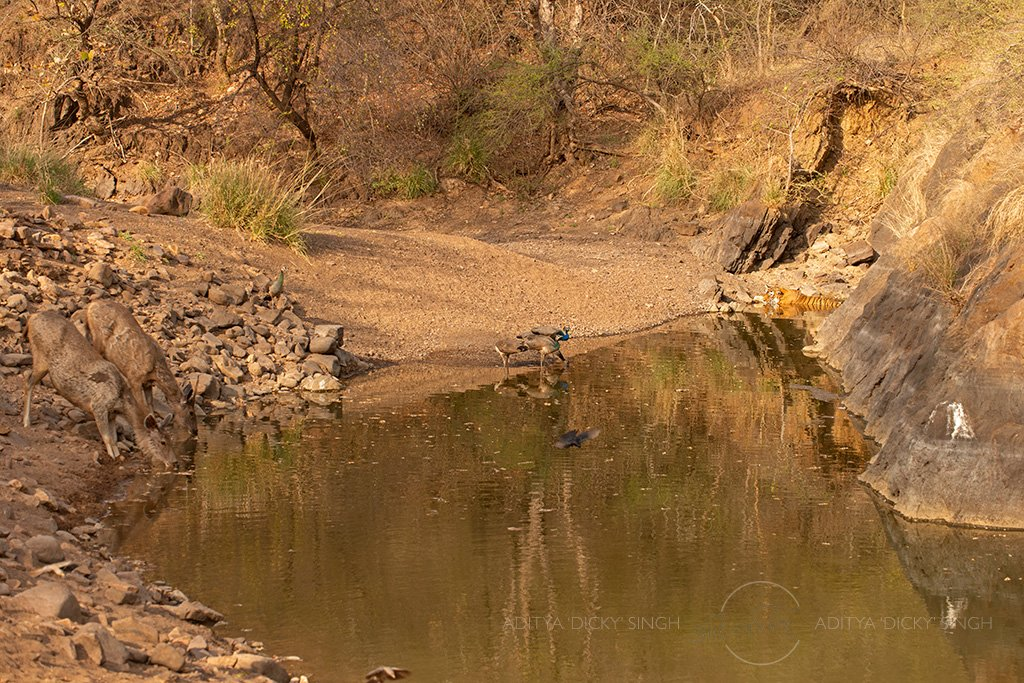 Tiger, Sambar deer, Indian Peafowl, Drongo, Babblers, Bulbul.....all sharing one waterhole at the same time. The tiger sits at the extreme edge to let others use the waterhole in the hot dry summers. #ranthambhore WE CALL THEM WILD 🤔