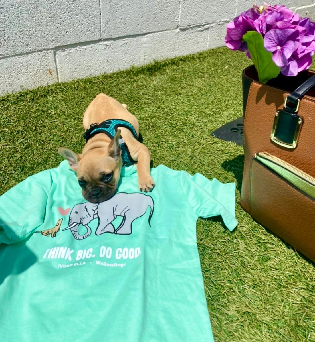 Everyone meet Harper and our NEW Ella Regular Fit WeRateDogs Tee 🐶100% of net proceeds from sales will be donated to @heartsandbonesrescue a non-profit network of volunteers who collaborate to find shelter dogs their forever homes 🐘💕@weratedogs ivoryella.com/pages/a-hope-c…